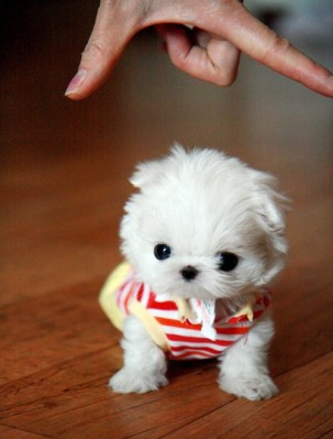 Teacup-Maltese-puppy-is-so-cute